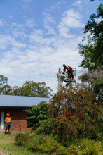 Lumberjack Felling A Dying Gum Tree Beside A House With Care