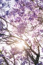 Jacaranda Tree With Sun Flare