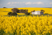 Paddock Of Yellow Flowering Canola With Shed In The Background