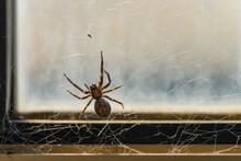 Brown House Spider On Windowsill