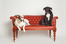 Two Large Dogs Sitting On A Fancy Velvet Seat In Studio