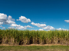 Sugar Cane Plants Growing Under Vivid Blue Sky