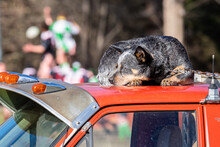 Cattle Dog Sleeps On Roof Of Red Ute At Country Rugby Union Match