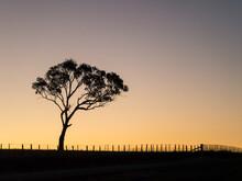 Gum Tree And Fence Silhouetted Against A Bright Evening Sky
