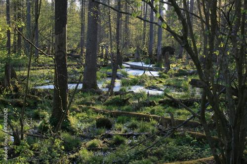 Fotografie, Obraz Primeval forest