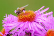 canvas print picture - A fly with big eyes feeds on nectar on a pink chrysanthemum flower.