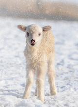 Cute Newborn Lamb On A Farm - Winter