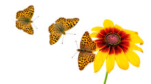 Bright Orange Butterflies And Chamomile Isolated On White. Butterfly High Brown Fritillary.