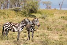 Zebra Couple Playing In Beautiful Light (beautiful Natural Pattern And Intense Colours)