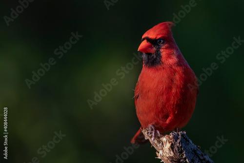 Fotografija Cardinal