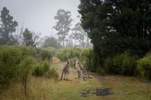Kangaroo Fighting Each Other In Native Australian Bush