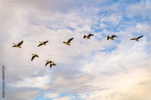 Obraz na plátne A flock of Canadian geese are flying in the sky with clouds on the background