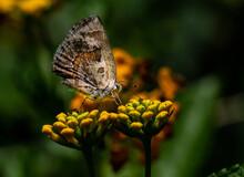 Hairstreak Butterfly On Lantana