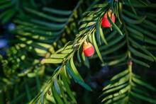 Taxus Baccata Berries On Branch. High Quality Photo