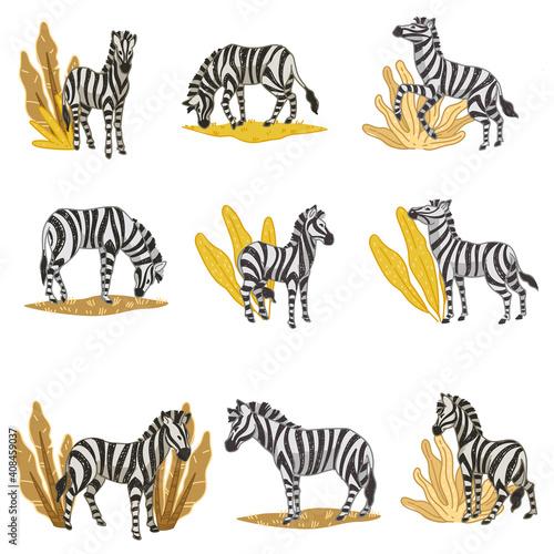 Fotografie, Obraz Zebras eating plants, wildlife in savannah vector