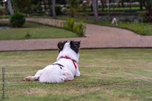Fotografie, Tablou Good Japanese Spaniel dog wearing pet collar sitting on grass lawn