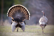 Pair Of Wild Turkeys, A Tom And A Hen, Walking Away From The Camera As The Male Struts, Displaying His Tail Fan