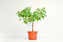 Ficus Benjamin Plant In A Pot On A Light Background. Indoor Plant For Indoor Floriculture And Phytodesign.