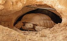 Desert Tortoise Lives In Hole Made In The Desert