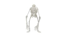 3D Rendering Of A Primate Abstract Skeleton Isolated In Studio White
