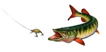 American Red-tipped Pike With Open Mouth To Attack Golden Wobbler Bait. Grass Pike Illustration Isolate Realism Art.