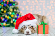 Adult Border Collie Wearing Eyeglasses And Red Santa Hat Lying With Big Gift Box. Festive Background With Christmas Tree. Empty Space For Text