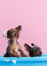 Two Yorkshire Terriers Having Bath With Foam On Head Among Pink Background. Pet Grooming Concept. Copy Space