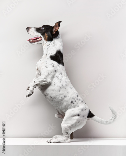Tablou Canvas The dog stands on its hind legs - white background.