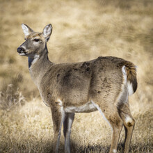 Closeup Of A Cute Doe Deer Grazing In Winter Grasslands