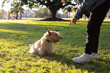 The Girl Who Trains A Dog Is The Scottish Terrier