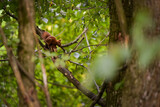 a brown squirrel in the tree during summer season. Sciurus vulgaris in the morning