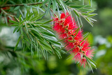 The Red Callistemon Rigidus Blossoms Beautifully In The Fresh Air Of The Green Forest.