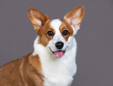 Dog Breed Welsh Corgi Cardigan Sits On The Grey Background; Tongue; Lick Your Nose