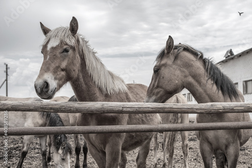 Horses in the paddock at the farm. Black and white photography. Tapéta, Fotótapéta