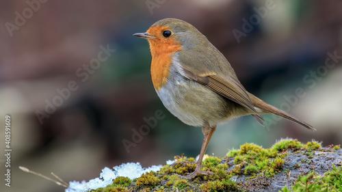 Fototapeta robin in the snow