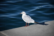 A Young Seagull Stands On The Seashore