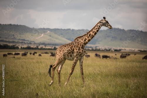 Obraz na plátně Giraffe walking through the grasslands in Kenya