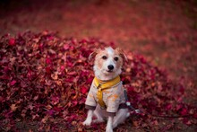Portrait Of A Dog On Autumn Leaves