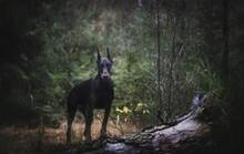 Doberman Standing On Field In Forest