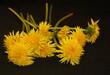 Mniszek polny - Żółte polne kwiaty