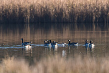 Canada Geese, Canada Goose, Branta Canadensis In Environment