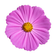 Pink Cosmos Flower Isolated On White With Clipping Path