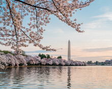 Cherry Blossoms In Full Bloom, Tidal Basin, Washington, DC