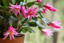 Easter Cactus Blooming Flowers