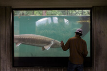 A Young Man Watches A Sturgeon Swim At A Fish Hatchery In Oregon.