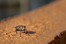 Close Up Of Fly In Orange Floor, Eyes Details