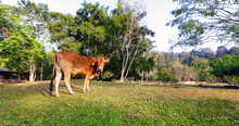 A Young Cow Grazing In The Field.