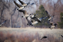 Geese In Flight Over Pond