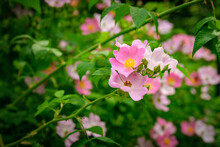 Close Up Of A Cluster Of Wild Pink Carolina Rose Flower In Spring