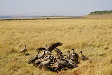 A Group Of White-backed Vultures Competed For Animal Carcasses On The Grass. Large Numbers Of Animals Migrate To The Masai Mara National Wildlife Refuge In Kenya, Africa. 2016.